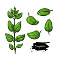 oregano drawing isolated herb plant branch vector image