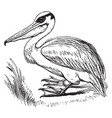 pelican vintage vector image vector image