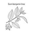 gum benjamin tree styrax benzoin medicinal plant vector image