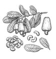 cashew big set vector image vector image