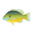 pumpkinseed sunfish vector image vector image