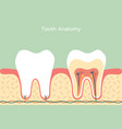 healthy tooth anatomy vector image