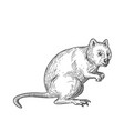 quokka drawing black and white vector image vector image