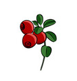 hand drawn red lingonberry vector image vector image