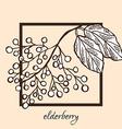 hand drawn elderberries vector image vector image