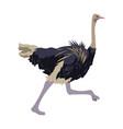 ostrich birds of savannah african fauna wildlife
