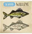 sketch walleye or perciform fish pickerel vector image vector image