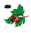 hawthorn branch drawing hand drawn plant vector image vector image