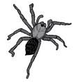 tarantula vector image vector image