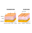 Collagen and elastin skin aging vector image vector image