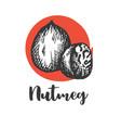 nutmeg nut seed vintage hand drawing vector image vector image