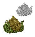 romanesco cabbage sketch vegetable icon vector image vector image