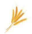 realistic isolated bundle of wheat ears vector image