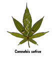 Cannabis vector image