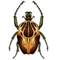 Goliathus regius - Goliath beetle vector image vector image