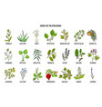 collection of best herbs for burns treatment vector image vector image