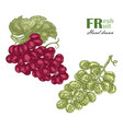 green and rouge grapes branch isolated on white vector image