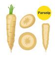 fresh parsnip vegetable organic vegetarian food vector image vector image