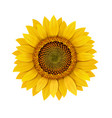 sunflower realistic isolated vector image