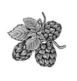 beer hop in engraving style design element for vector image