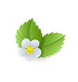 strawberry plant green leaves and flower isolated vector image