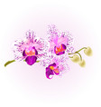 orchid purple and white phalaenopsis stem vector image vector image