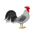 cock poultry breeding vector image vector image