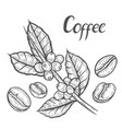 coffee plant branch vector image vector image
