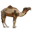 one-humped camel vector image