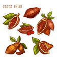 cocoa beans chocolate cacao fruit pods vector image