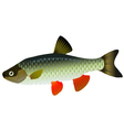 chub fish vector image vector image