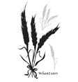 Ears of wheat tied Black silhouette on white vector image