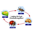 a ladybug life cycle vector image
