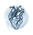 human heart drawn in detail on a watercolor loop vector image