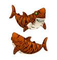 cartoon tiger shark bares his sharp teeth isolated vector image vector image