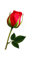 flower background with a beautiful red rose vector image vector image