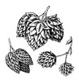 hop plant with leaves in vintage style engraved vector image vector image