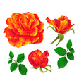 flower orange rose and buds vintage vector image