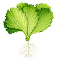 Fresh lettuce with root vector image vector image