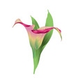 calla lily pink flowers and leaves herbaceous vector image