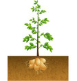 potatoes plant with root under the ground vector image vector image
