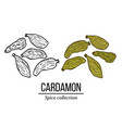 spice collection cardamon hand drawn vector image vector image
