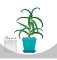 aloe vera plant in pot banner vector image vector image