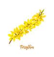 forsythia suspensa easter tree spring branch vector image