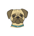 head dog pug with collar hand-painted vector image vector image