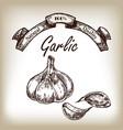 garlic hand drawn in sketch style vector image vector image