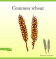 hand drawn wheat ears sketch vector image vector image