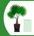 washingtonia plant in pot banner vector image vector image