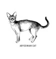 hand drawn abyssinian cat vector image vector image