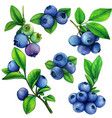watercolor blueberry elements botanical vector image